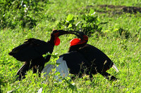 Southerngroundhornbill1