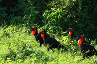 Southerngroundhornbill2