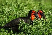 Southerngroundhornbill4