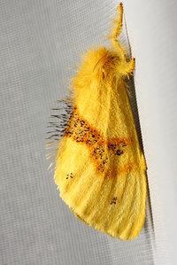 Euproctisfasciatawalker1855