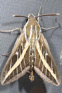 Hyleslivornicaesper1779