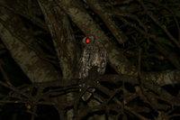 Spottedeagleowl2