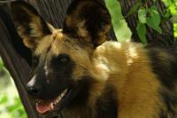 Wilddog2