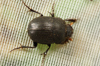 African_dung_beetle001