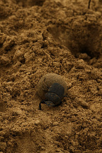 African_dung_beetle002