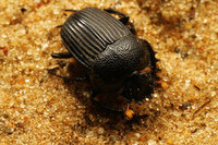 African_dung_beetle003