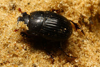 African_dung_beetle005