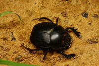 African_dung_beetle006