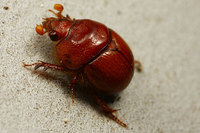 African_dung_beetle007