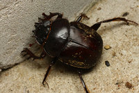 African_dung_beetle009