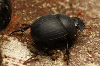 African_dung_beetle010