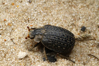 African_dung_beetle013