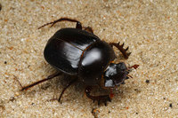 African_dung_beetle014