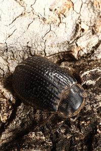 African_dung_beetle018