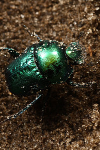 African_dung_beetle019