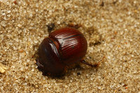 African_dung_beetle020