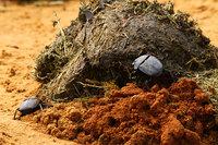 African_dung_beetle022