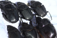 African_dung_beetle023