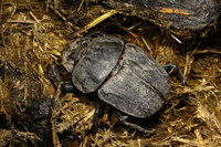 African_dung_beetle024