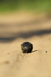 African_dung_beetle027