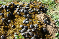 African_dung_beetle028