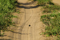 African_dung_beetle030