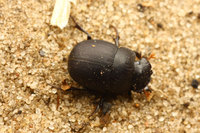 African_dung_beetle032