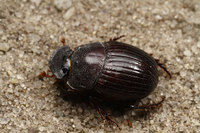 African_dung_beetle034