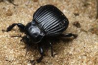 African_tenebrionidae015