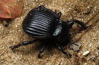 African_tenebrionidae016