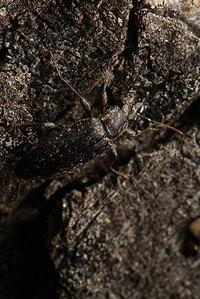 African_tenebrionidae018
