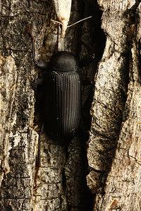 African_tenebrionidae021