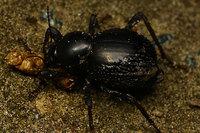 African_tenebrionidae022
