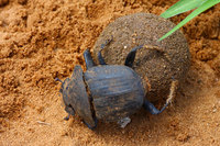 Fighting_dung_beetle_12_2