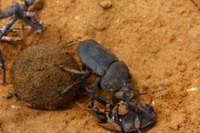 Fighting_dung_beetle_3
