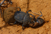 Fighting_dung_beetle_4