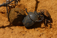 Fighting_dung_beetle_5
