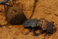 Fighting_dung_beetle_7