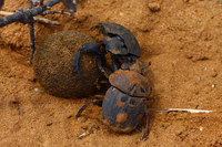 Fighting_dung_beetle_9