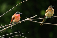 Southern_carmine_beeeater_2