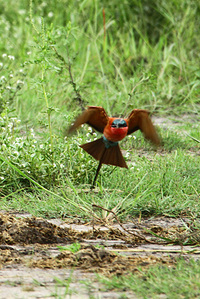 Southern_carmine_beeeater_3