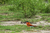 Southern_carmine_beeeater_4