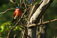 Southern_carmine_beeeater_5