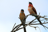 Southern_carmine_beeeater_6