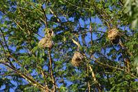 Nest_of_southern_maskedweaver001