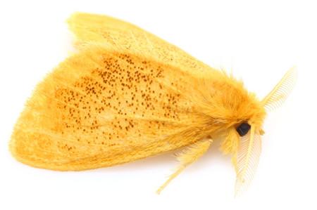 ゴマフリドクガ Somena pulverea (Leech, 1889)の白バック写真