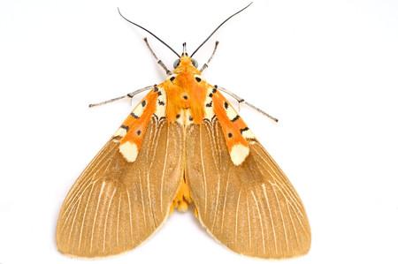 イチジクヒトリモドキ Asota ficus (Fabricius, 1775)の白バック写真その2