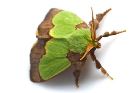 クロシタアオイラガ Parasa sinica Moore, 1877の白バック写真その3