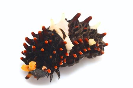 ジャコウアゲハの幼虫の白バック写真