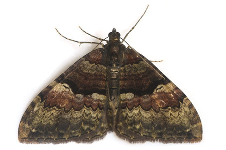 Moth_from_mttakanawa16_2
